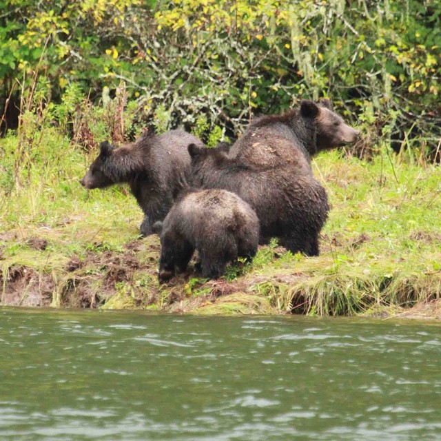 A grizzly family of cubs and mom near the water