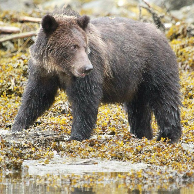 A striding grizzly bear on yellow ground