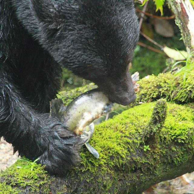 Close up of a black bear in profile walking with a fish in its mouth