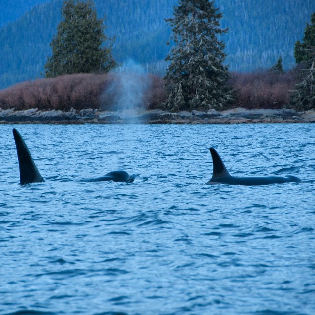 Two orca tail fins and backs visible on the water in Bella Bella