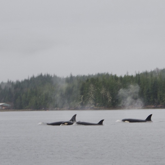 backs and fins of three orca whales in the ocean