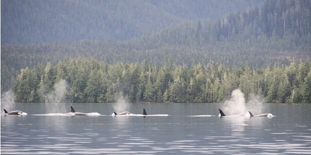 A pod of six visible orca whales in a row spouting water