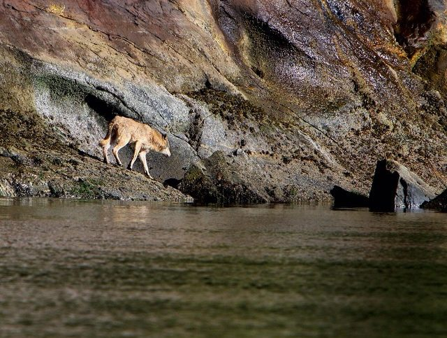 brown wolf walks down to the water on rocks.