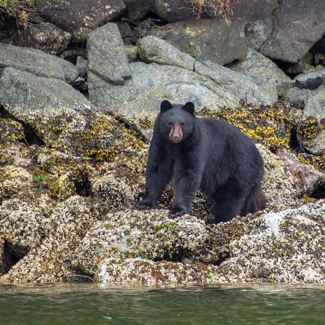 black bear standing on rocks stares at camera