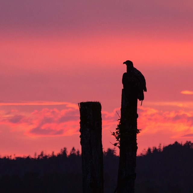 Bald eagle silhouetted at sunset, on a pole, red and purple sky in the background