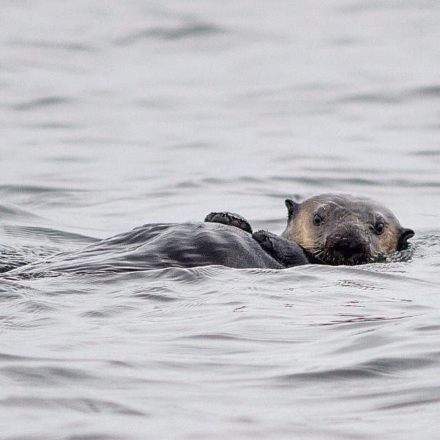 A sea otter on its back in grey waters staring straight at the camera
