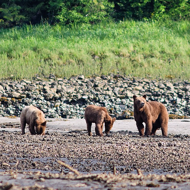 Three bears hanging about near some water