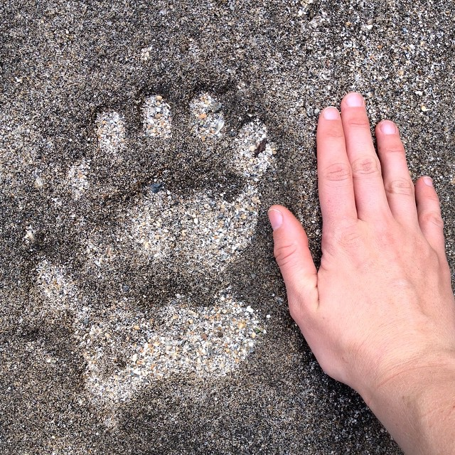 A hand places near a bear print for comparison. The bear print is as small as the hand, but very clear