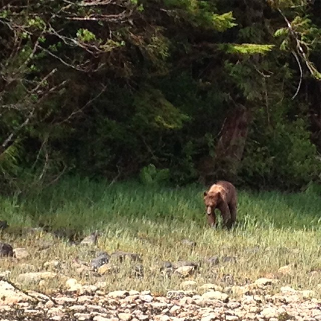 Brown female grizzly bear munching on sedge in a field by the forest