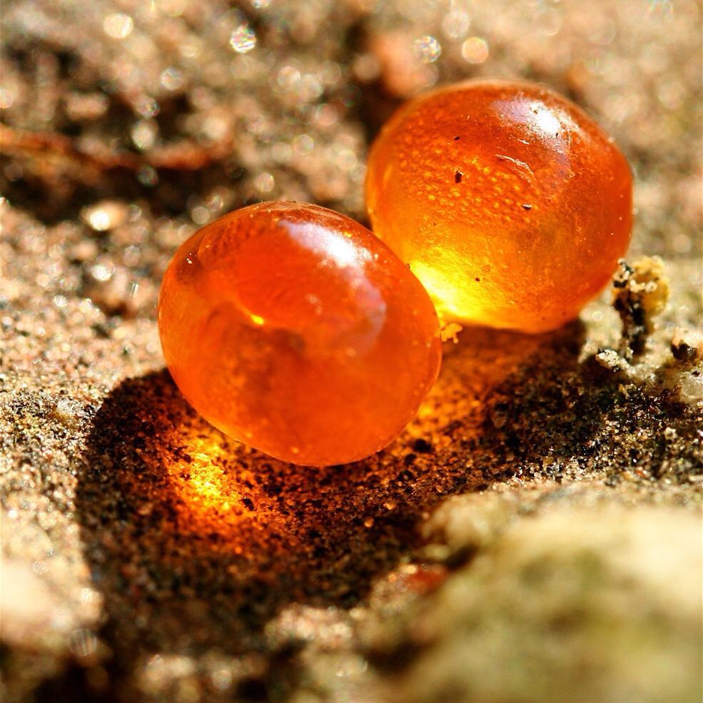 extreme closeup of wild salmon eggs, appear to be orange semi- transparent globes stuck to each other