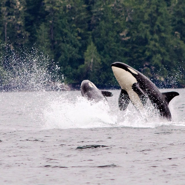 Two orcas leaping out of the water, spraying water