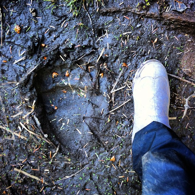 a foot of a human next to a bear track pressed into the mud