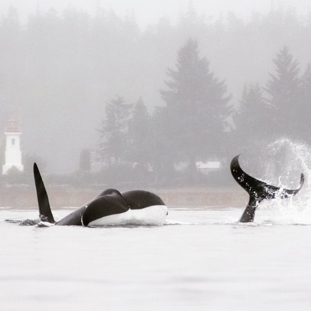 Two orcas head and tail visible in white waters on a foggy day