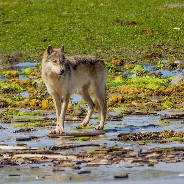 light brown wolf caught posing in mid-stride on wetlands