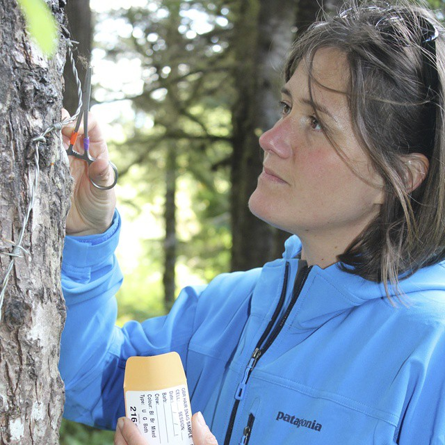 raincoast staff Scott rogers pictured wearing a blue Patagonia jacket examining a rub tree with bear hair samples caught in it