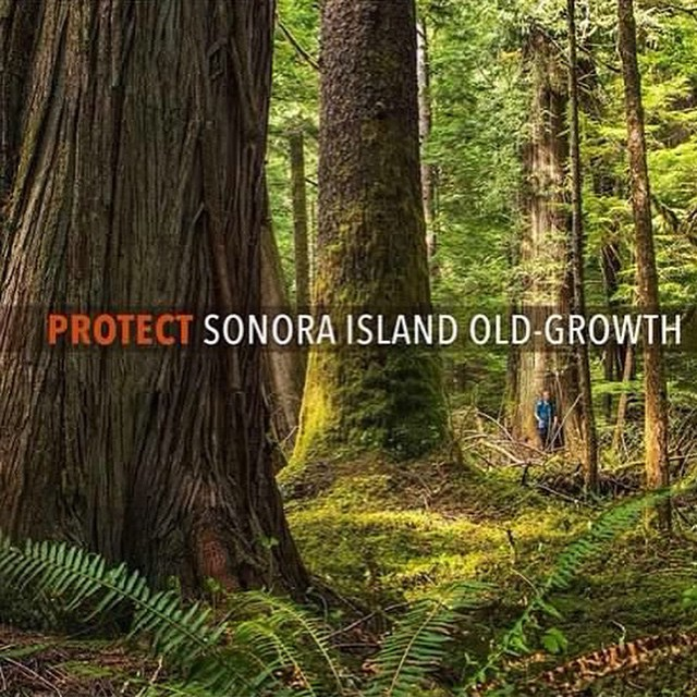 Three old growth trees in the Sonora Island forest with the caption Protect Sonora Island Old Growth on the picture