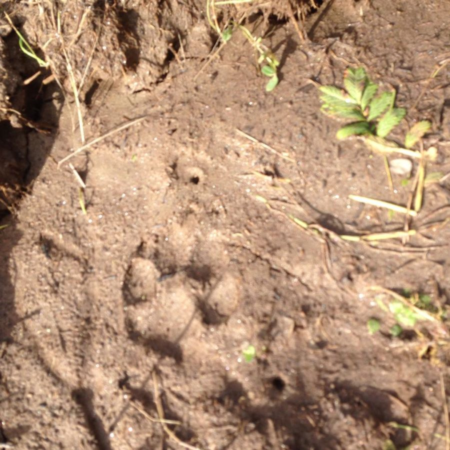 imprint of a wolf foot