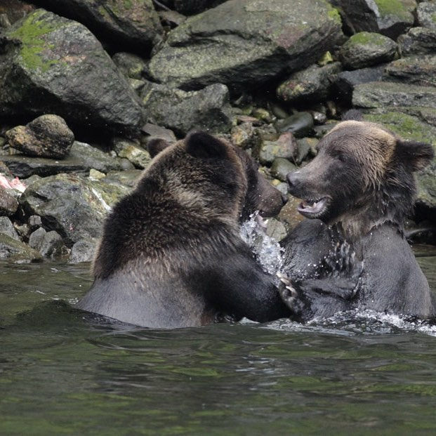 Two grizzly bears in the water, head and shoulders above water, mock fighting near the shore, with rocks visible as background