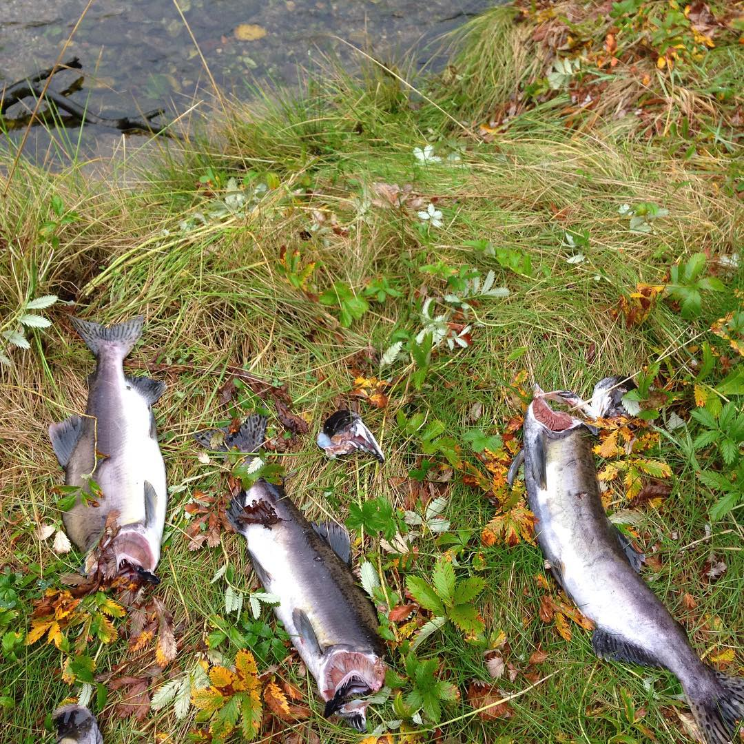 three headless salmon pictured, having had their heads eaten by wolves