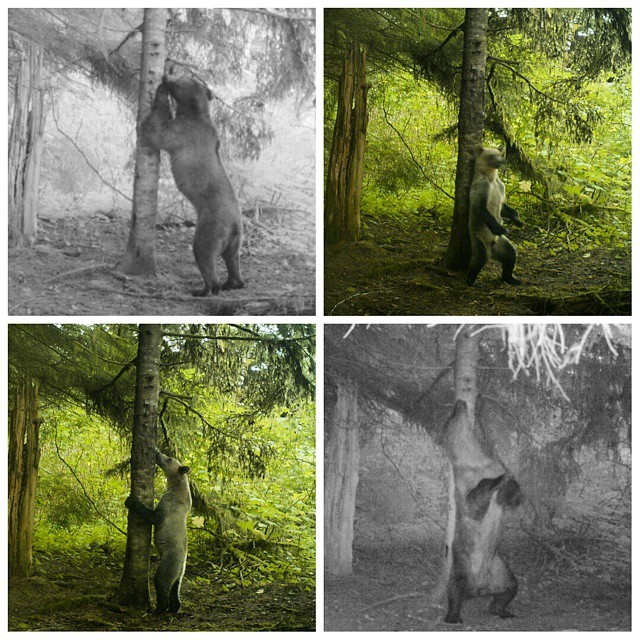 a collage of four photos of frizzly bears using rub trees to rub their backs and mark scent captured on wildlife cameras