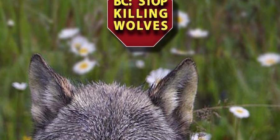 Advertisement poster by Raincoast Conservation against BC government culling wolves