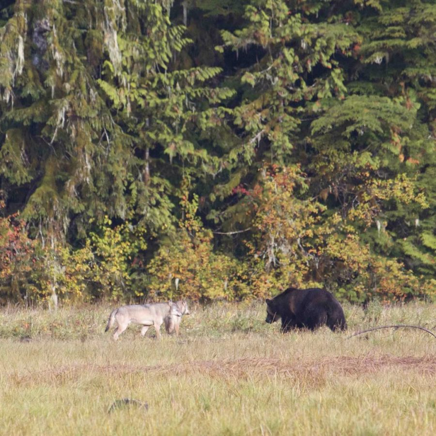 two wolves and a bear interact