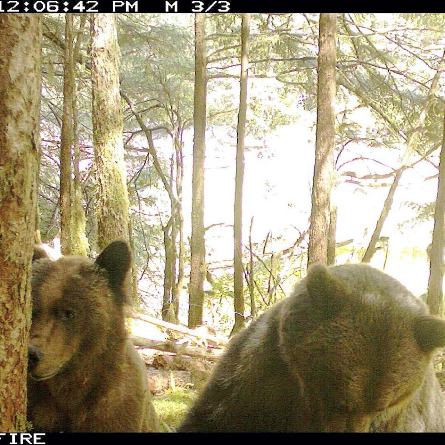 Two bears caught on camera through the monitring system set up by Raincoast