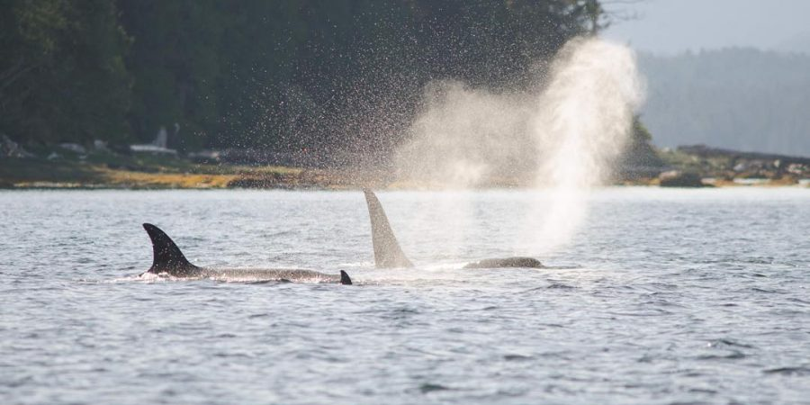 Image of killer whales spouting water in the ocean