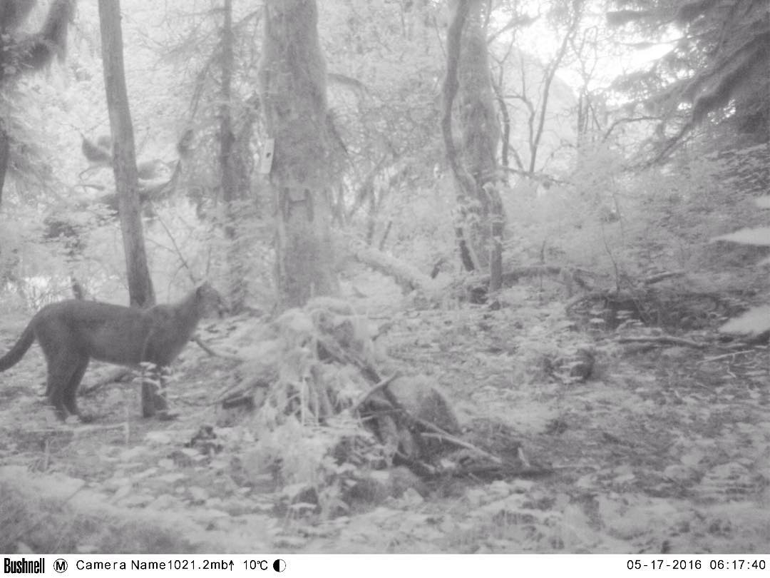 black and white photo from a bear cam of a cougar amidst trees
