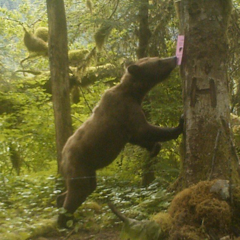 Raincoasts' non-invasive bear research