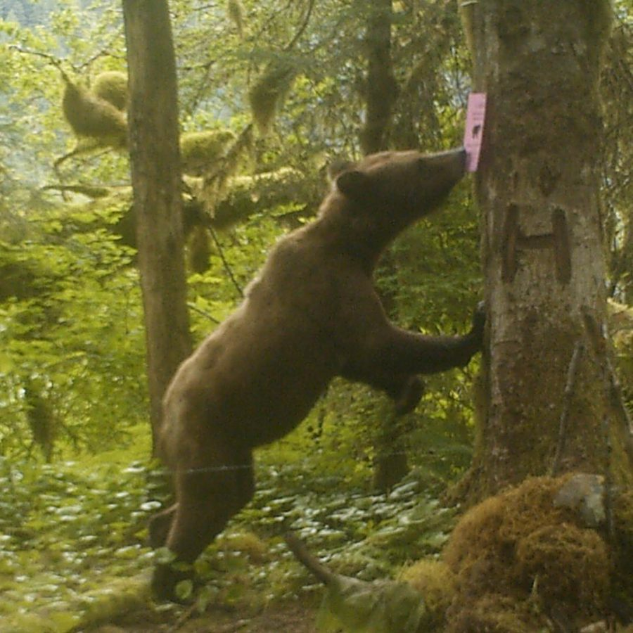 Bear with forelegs on tree sniffing a sign left by Raincoast researchers