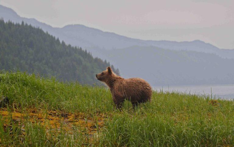Understanding the relationship between bears, salmon and people