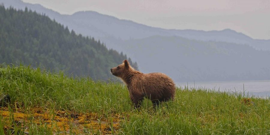 A bear standing on a mountain slope covered with green grass