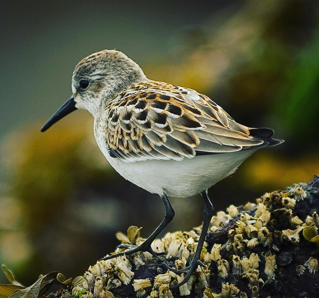sandpiper close up