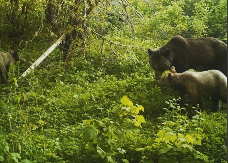 The relationship between bears, salmon and people in the Great Bear Rainforest