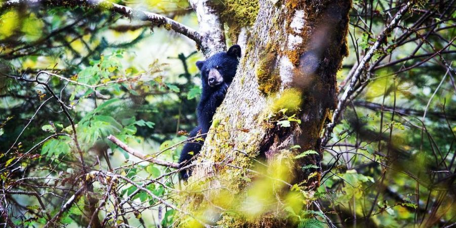 A black bear looks out from behind a tree, that it's sitting in.
