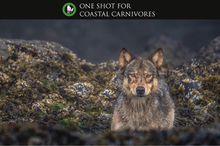 A wolf lies down on the rocks and stares out at the photographer.