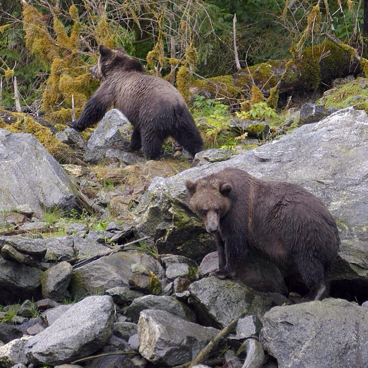 Two grizzly bears clambering around on rocks in the forest
