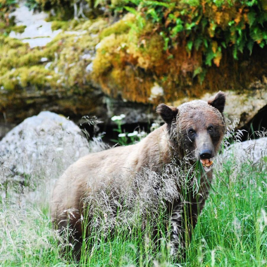 A grizzly bear looks into the camers from behind medium tall grass in the Great Bear Rainforest