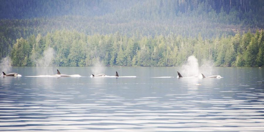 pod of at least six orcas visible spouting water in a stretch of ocean in Heiltsuk Territory near the Nathan E Stewart oil spill