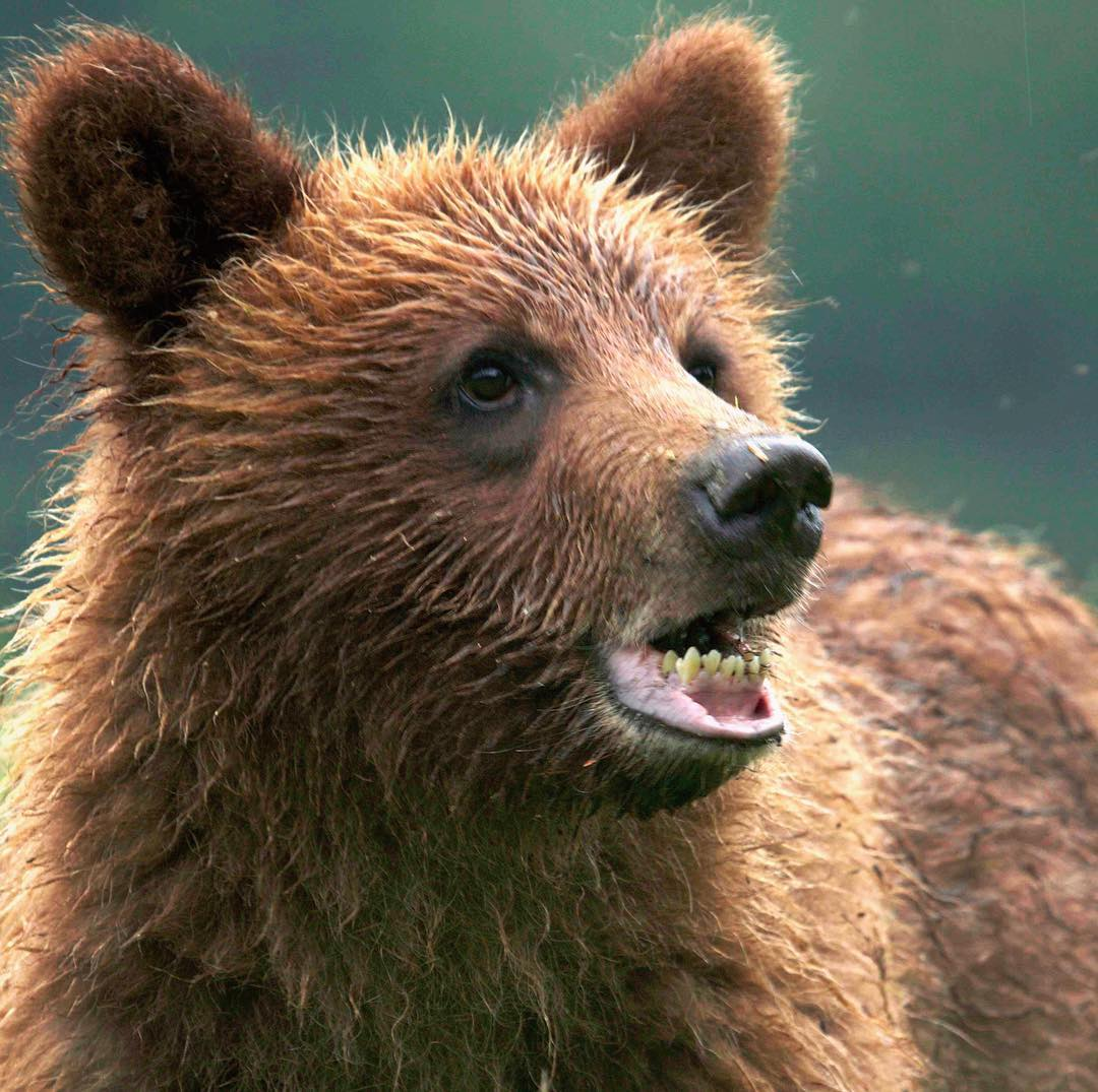 Beautiful brown grizzly bear face with mouth partially open