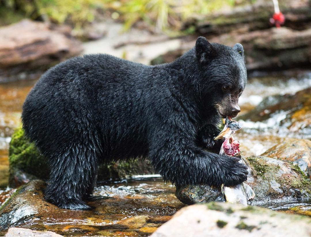 A black bear tears open a salmon in the stream.