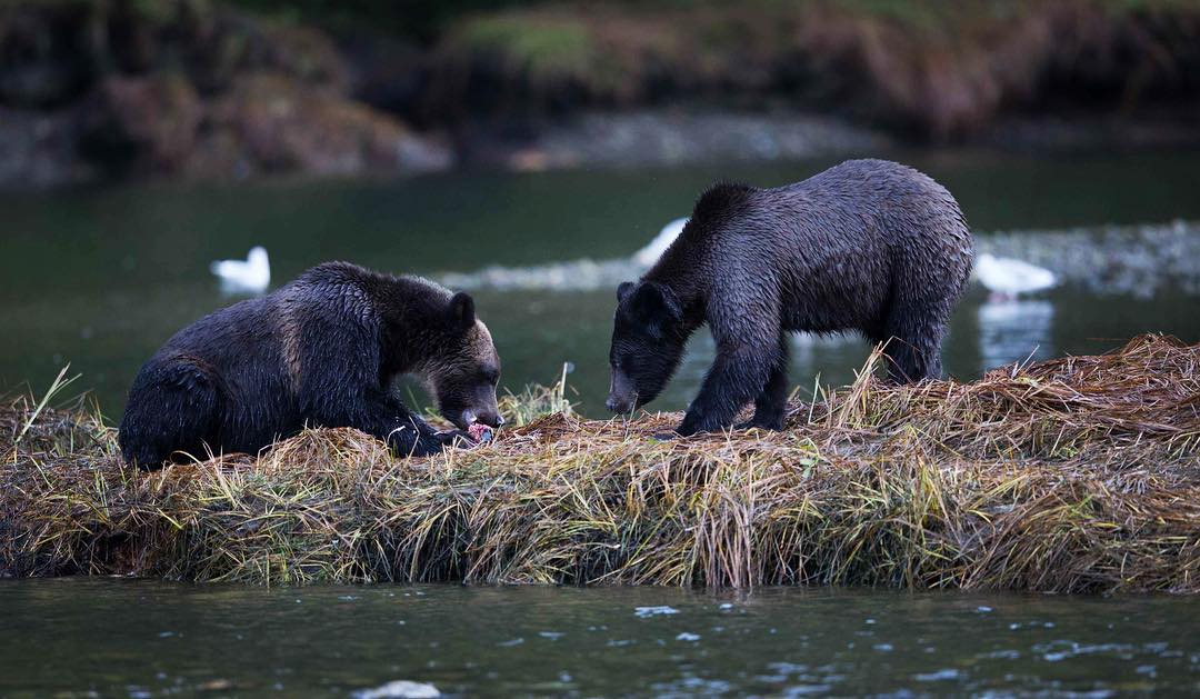 Two black grizzly bears on all fours foraging in a patch of grass between water