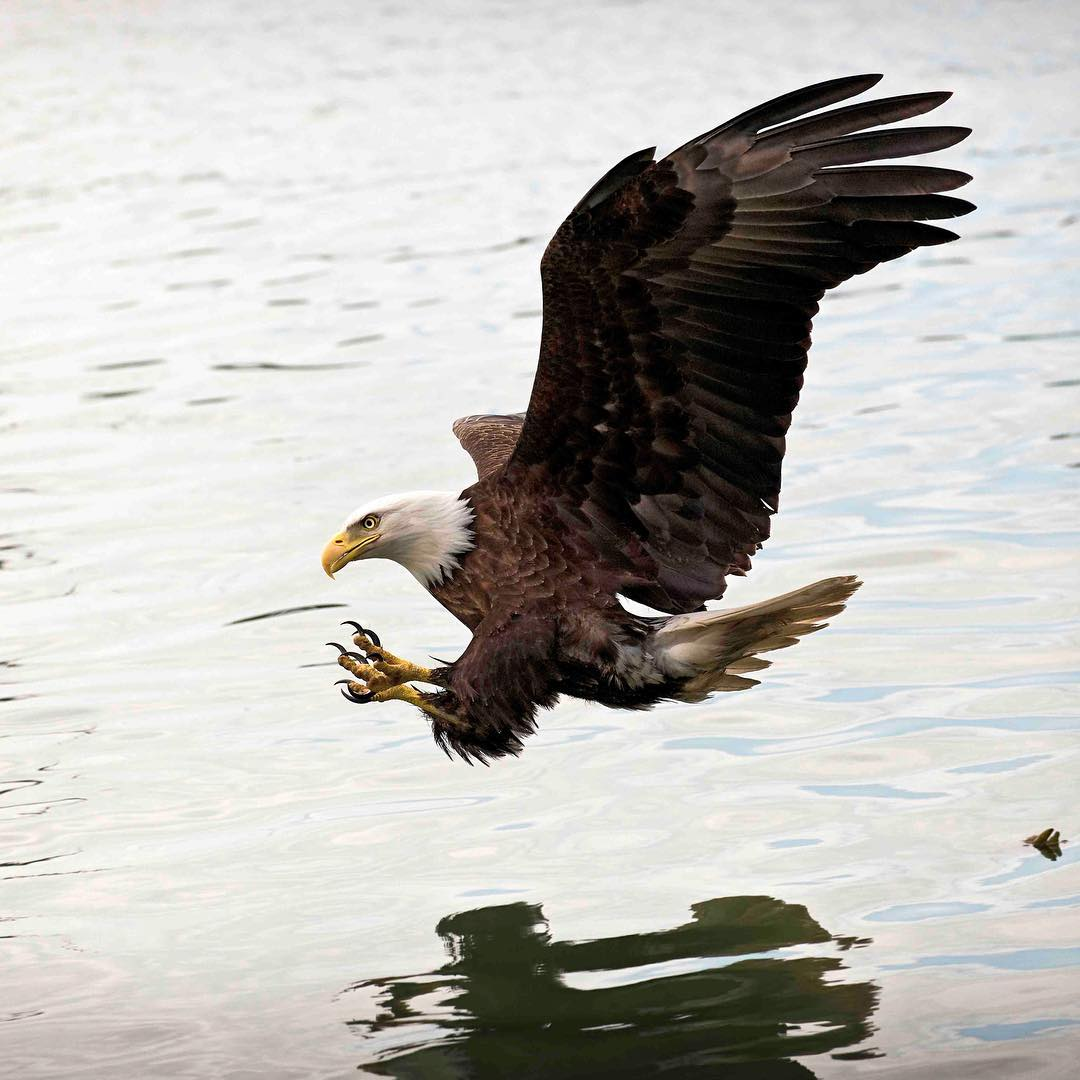 Bald eagle swims close to the surface of water, shadow visible