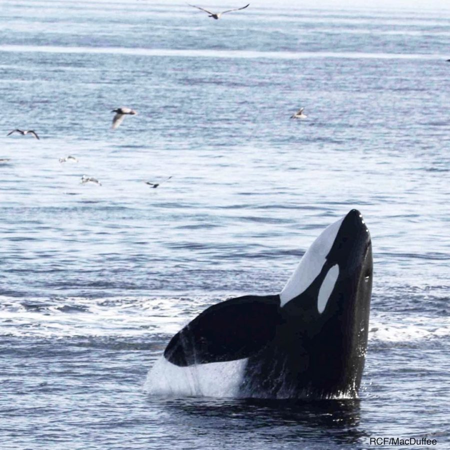 orca rising out of blue ocean.