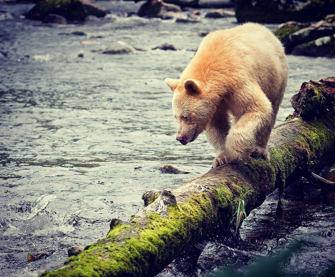 spirit bear on a log looking down into the water