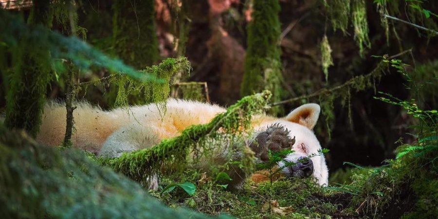 Beautiful photograph of a white spirit bear sleeping amidst green forest