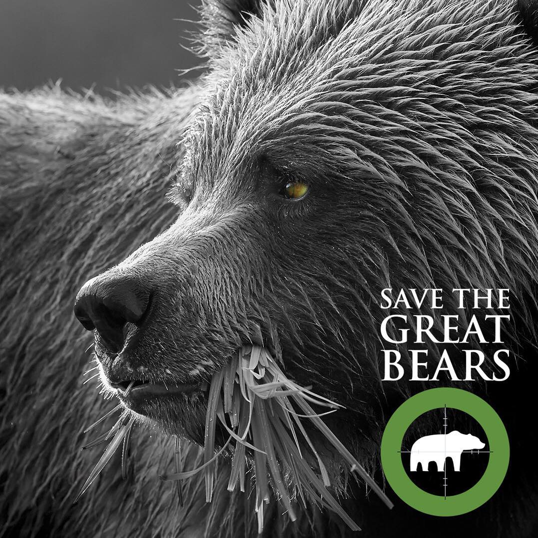a black and white photograph of extreme closeup of a bear's face with a clump of grass hanging out of its mouth, with the caption Save the Great Bears and a campaign logo of a bear inside a green circle