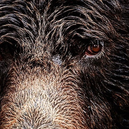 Close up of brown eyes and shaggy brown fur on a beautiful grizzly bear face