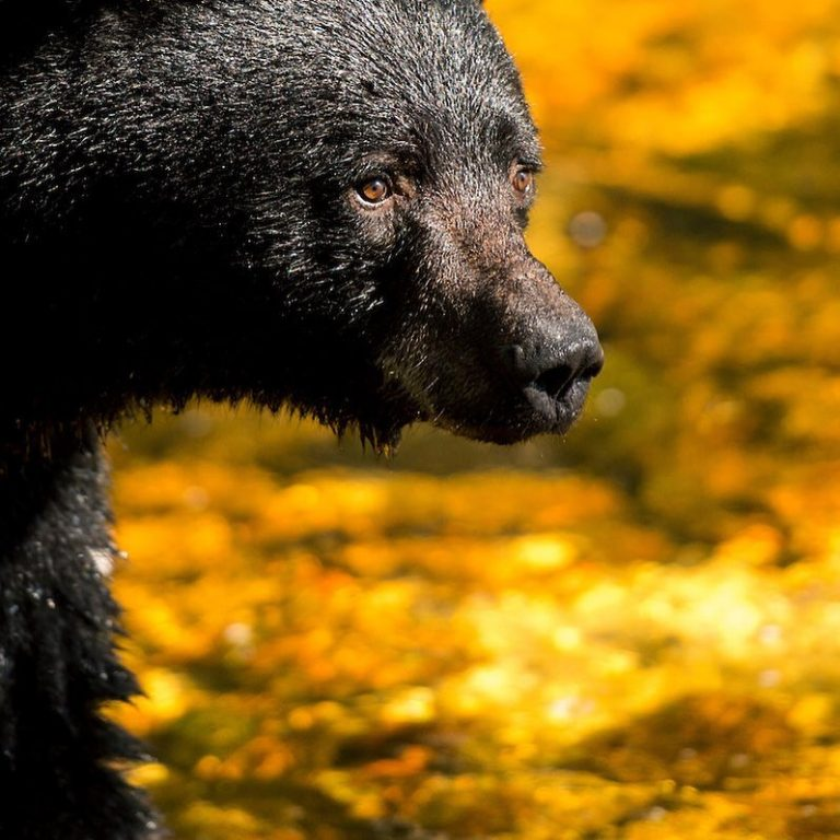 """Buy a """"Grizzly Bar"""", win a trip to see grizzlies, documentary Trophy at Vic Theatre tonight"""